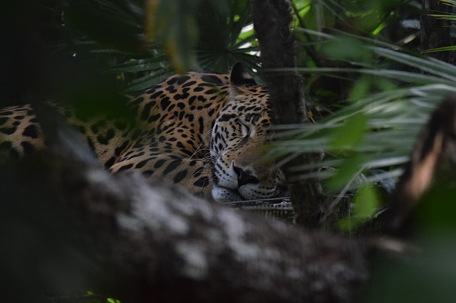 A jaguar sleeping in tall grass