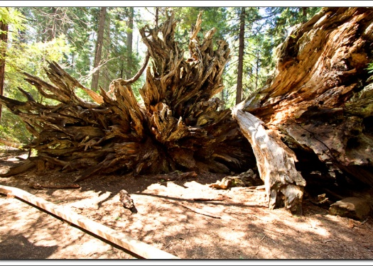 Big tree in Calaveras State Park