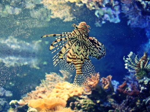 Fish in a colorful coral reef aquarium