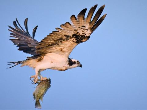Osprey flying through the air