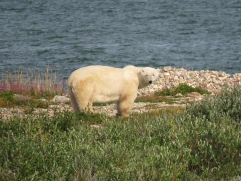 Polar bear next to the water