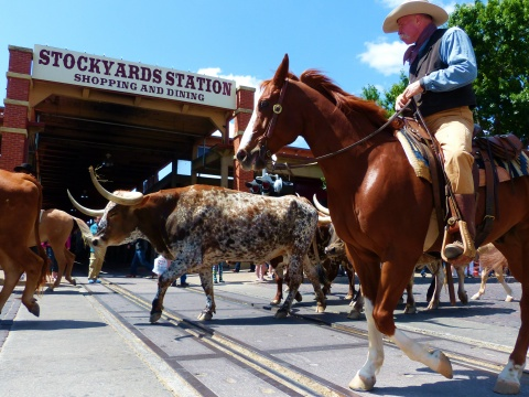 Cattle Drive in Fort Worth